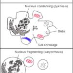 apoptosis image