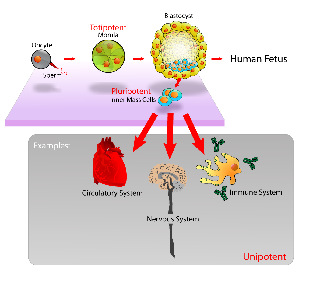 Stem cells basics