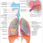 Anatomy and physiology of lung