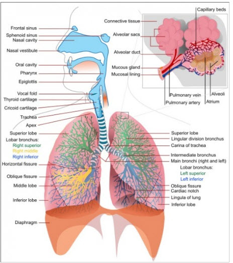Anatomy And Physiology Of Lungs Medcaretips