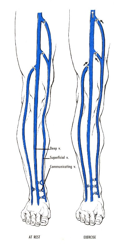Venous Circulation at rest and exercise