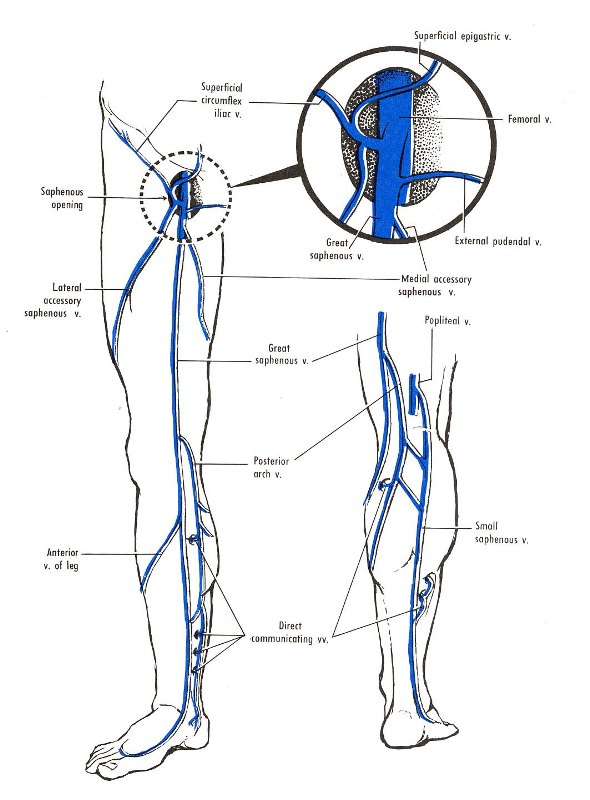 Venous Drainage Of Lower Limb Medcaretips