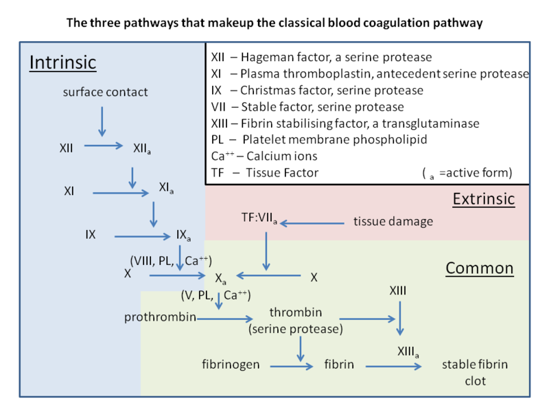 Classical coagulation pathway
