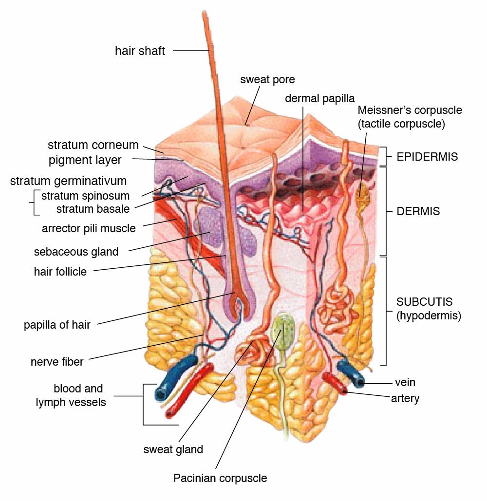Skin Anatomy and Physiology | medcaretips.com