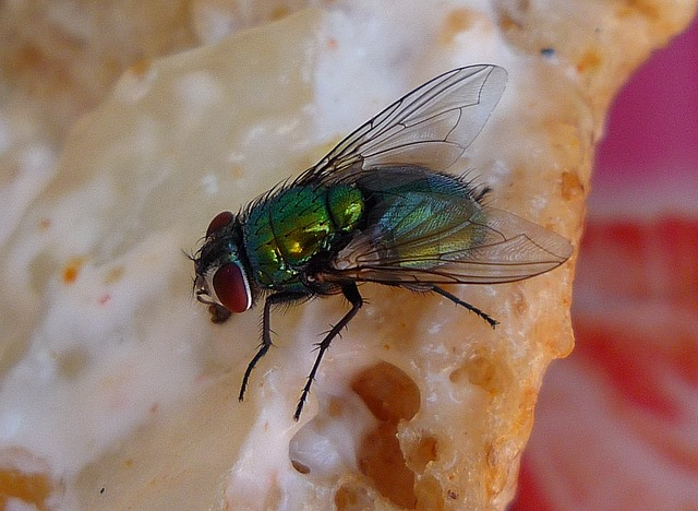 A fly on pizza may spread disease