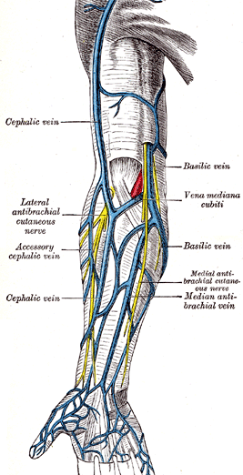 veins of upper limb for venous blood sampling