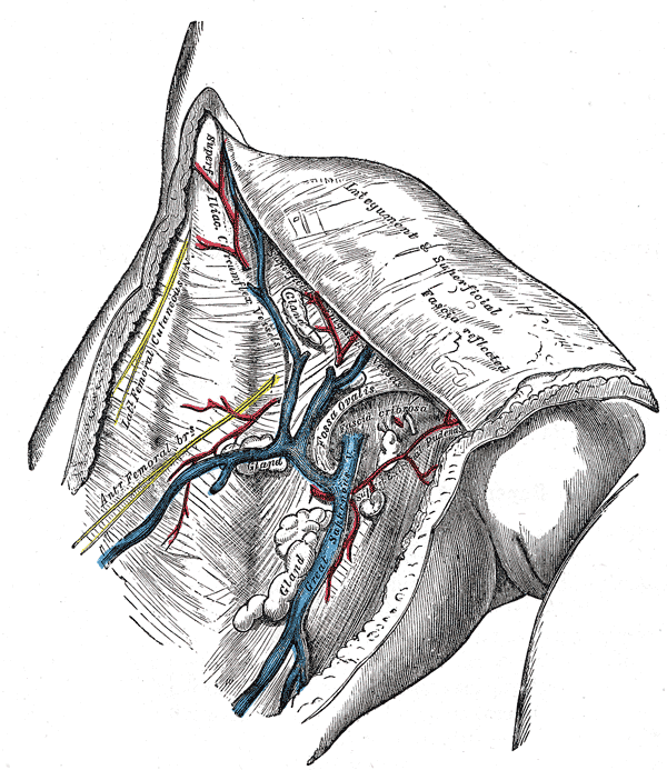 great saphenous vein in femoral vein