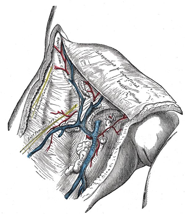 great saphenous vein in femoral vein