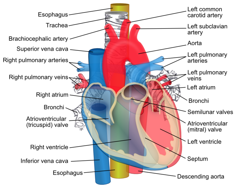Aorta and other vessels