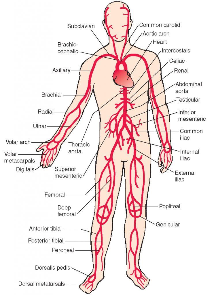 Arterial supply arrangement
