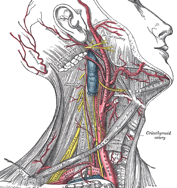 Arteries of head and neck