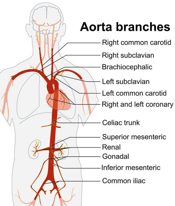 Branches of Aorta