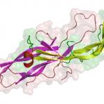 Structure of human chorionic gonadotropin