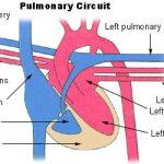 Anatomy of Arterial Supply of Human Body