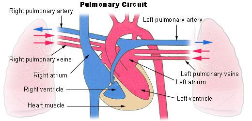 pulmonary artery and veins