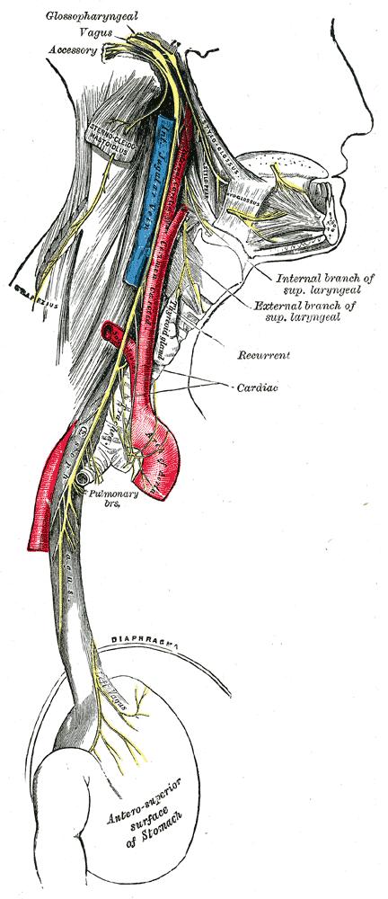 vagus nerve course