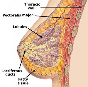 Internal Structure of the Breast