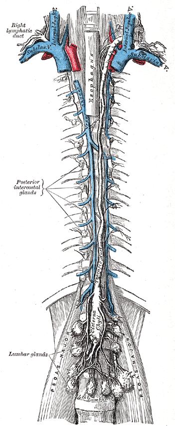 thoracic duct anatomy
