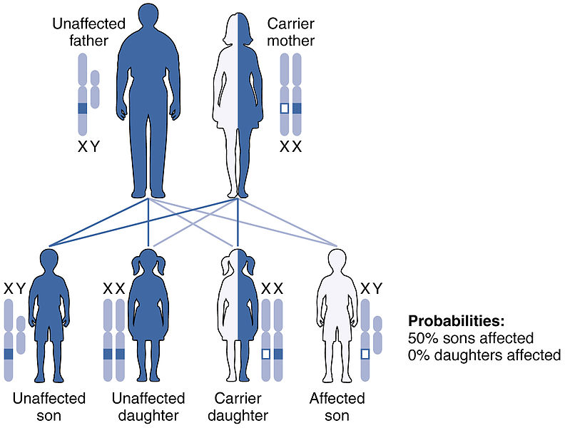 X-linked_Recessive_Inheritance-genetic inheritance